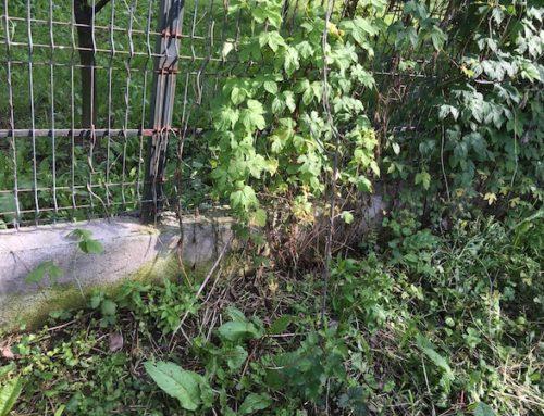 Cultivarea castraveților lângă gard