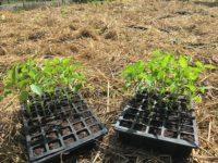 Răsaduri de ardei în alveole de plastic în grădină la țară