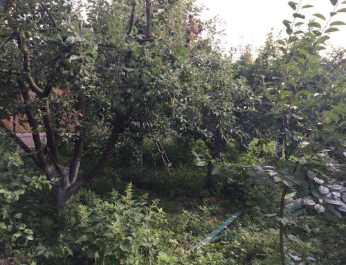 Soiuri vechi de măr