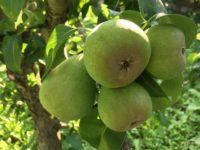 Pere verzi în copac în grădină la țară