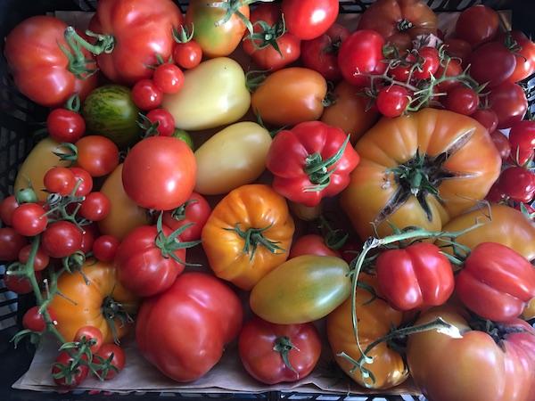 Roșii multicolore din grădină
