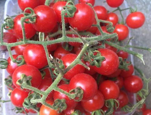 Porodici de Apuseni- cel mai rezistent soi de roșii de la noi din grădină