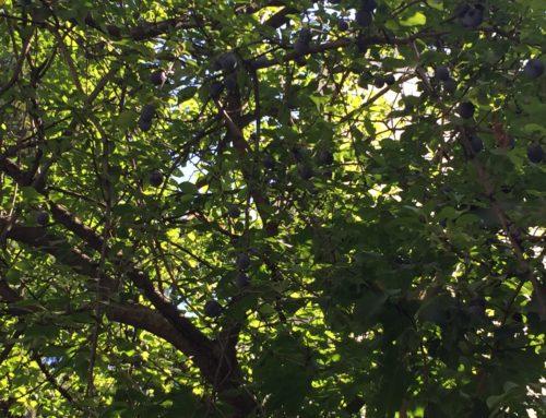 Prunus Juliana L. – un altfel de corcoduș, numit prun în Bucovina și Moldova