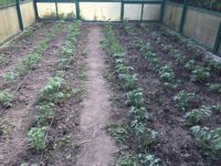 Agricultură la distanță - Răsaduri de roșii în solar