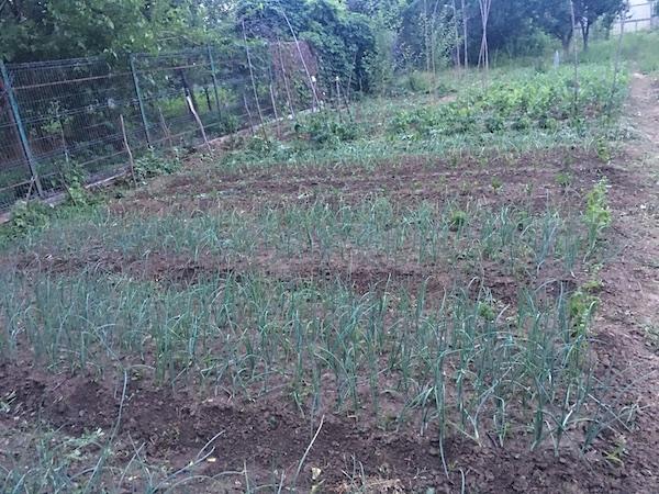 Ceapă verde de grădină